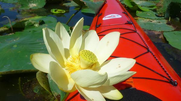Cincypaddlers Lotus Paddle 2015